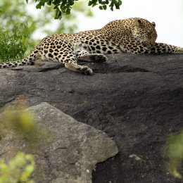 A leopard relaxes on a rock at Kruger nationwide Park in Southern Africa.