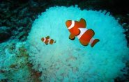 Clown fishes waiting facing their blue anemone home, Clownfish