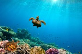 Green Sea Turtle cycling over Coral Reef, Red water, Egypt