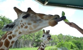Lion Country Safari, Inc. - Western West Palm seashore: $23 for just one 1-Day Admission Ticket with Parking at Lion nation Safari ($40 worth)